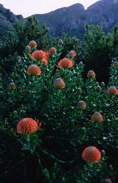 Protea in Kirstenbosch National Botanical Garden.in South Africa Beautiful Gardens, Beautiful Flowers, South African Flowers, National Botanical Gardens, Sacred Garden, Desert Plants, Outdoor Landscaping, Garden Planning, Landscape Photos