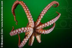 Pacific Giant Octopus (Enteroctopus dofleini), suckered tentacles