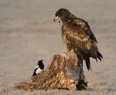 Shot of this juvenile White-tailed Eagle and Magpie taken near Kutno in mid Poland