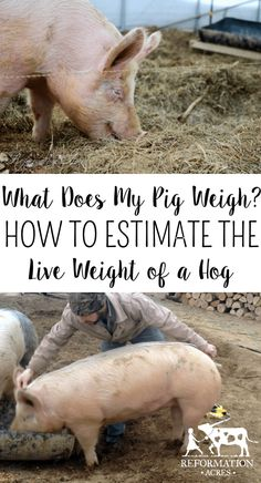 Want to know how much does a pig weight? You can figure how much a pig weighs with a tape measure, calculator, and formula to estimate a live hog weight. Livestock Judging, Showing Livestock, Pig Showing, Raising Farm Animals, Pig Pen, Teacup Pigs, Show Cattle, Guinea Pig Toys, Pig Farming