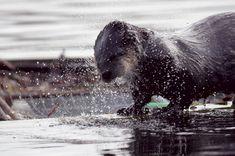 6166-River-Otter-HF-WC-BY-SRK-01-11-16-4928-x-3264.jpg 700×464 pixels