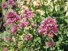 Valériane rouge, Centranthe rouge, Lilas d'espagne, Centranthus ruber