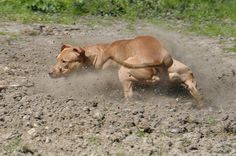 Staffordshire Terrier chasing a stick by William Krusche, via Flickr
