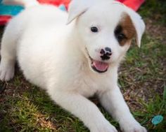 Purdy is an adoptable Australian Shepherd Dog in Lumberton, NC. Purdy is in the care of the Robeson County Humane Societys Friends for Life Animal Shelter - a no-kill facility. Please contact Miss Kel...