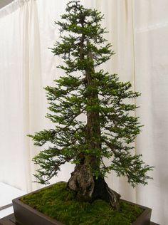 cool-bonsai-small-tree-redwood