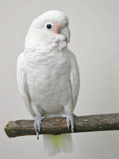 Tanimbar Corella or Goffin Cockatoo Cute Birds, Pretty Birds, Beautiful Birds, Cockatiel, Budgies, Exotic Birds, Colorful Birds, Bird Pictures, Animal Pictures