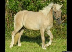 Danny Danny is a Palomino Paint pony who was rescued as a stray. He has been gelded and is 11.5 hands. Email Laurie Waggoner at laurie@helpthehorses.com.