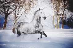A dedication to all beautiful equines. Horses In Snow, Wild Horses, Most Beautiful Horses, All The Pretty Horses, Beautiful Creatures, Animals Beautiful, Dapple Grey Horses, Animals And Pets, Cute Animals