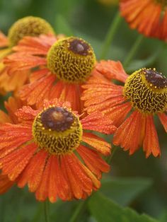 Helenium x Dancing Flames   Sneezeweed, aka Helenium Flammenspiel Height: Tall 3' / Plant 2' apart   Bloom Time: Summer to Early Fall     Sun-Shade: Full Sun to Mostly Sunny     Zones: 4-9   Get Your Zone   Soil Condition: Normal, Clay     Flower Color / Accent: Yellow / Orange