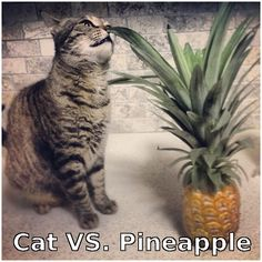 Pineapple has that left hook u never see coming, but I would still bet on CAT