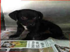 A920647, A921450 (D0C), A921909 URGENT AT KERN! is an adoptable Pit Bull Terrier Dog in Bakersfield, CA. *** MANY PIT BULL TERRIERS AVAILABLE AT THIS SHELTER ** To get more information about the dog(s...