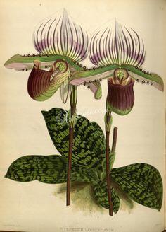Warner & B. Williams - The Orchid Album - volume I Paphiopedilum lawrenceanum Botanical Drawings, Botanical Illustration, Scientific Drawing, Art Graphique, Gravure, Flower Wall, Horticulture, Vintage Art, Flora