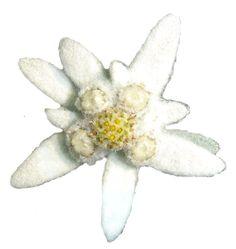 edelweiss jawa google search fleurs pinterest. Black Bedroom Furniture Sets. Home Design Ideas