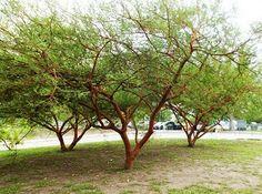 Acácia de Tronco Vermelho ou Acacia seyal
