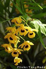 Orquídea Olho-de-boneca -Modo de cultivo: