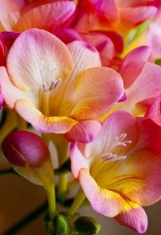 Freesia have the most beautiful perfume