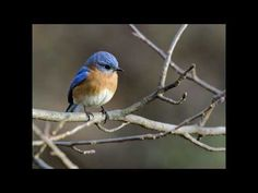 Eastern Bluebird video with their sweet sounds