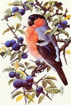 Bullfinch ~ Charles F Tunnicliffe