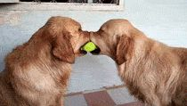Two Dogs Fighting Over A Tennis Ball