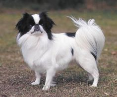 The Japanese spaniel is probably native to Korea, the breed being developed in Japan at a later date and spread to Europe in 1700. Its greatest moment of popularity came in 1853 when one was
