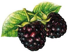 This high quality free PNG image without any background is about hybrids, blackberry, rubus subgenus, food and fruit. Fruit Illustration, Food Illustrations, Fruit And Veg, Fruits And Vegetables, Food Clipart, Fruit Art, Botanical Art, Food Art, Clip Art