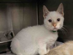 Meet A1640261, an adoptable Domestic Short Hair looking for a forever home. If…
