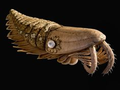 Anomalocaridids (model pictured) grew a third longer and survived 30 million years longer than thought.  Christine Dell'Amore    National Geographic News    Published May 27, 2011    Fossils of a meter-long (3.3-foot) prehistoric ocean predator have been found in southeastern Morocco.       The specimens include the largest yet of its kind and suggests the spiny, somewhat shrimplike beasts dominated pre-dinosaur seas for millions of years longer than thought.