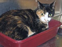 12 / 26   ***SENIOR***   Petango.com – Meet Harmony, a 17 years 3 months Domestic Shorthair available for adoption in Monroe, CT Contact Information Address  359 Spring Hill Road, Monroe, CT, 06468  Phone  (203) 445-9978  Website  http://www.spcact.org  Email  tsvsi@aol.com