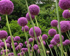 Riesen-Lauch•Allium giganteum•10 Samen-seeds•Zierlauch•winterhart•Blüten -15 cm in Garten & Terrasse, Pflanzen, Sämereien & Zwiebeln, Sämereien & Zwiebeln   eBay