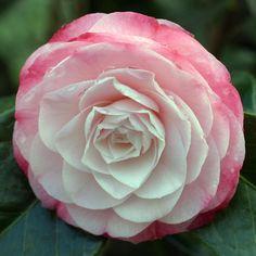 Camellia | Buy Camellia 'Desire' AGM (japonica) online. - Duchy Nursery