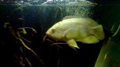 Big Oscar fish ready for breed