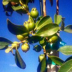 #fruitingguava 5gal containers $25 #guava #guavas #guavatree #tree