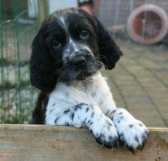 Pup Grote Münsterlander
