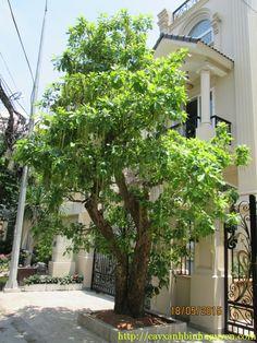 Cây Lộc Vừng hay còn gọi là cây Mưng, đây là loại cây nằm trong bộ bốn loại cây QUÝ theo phong thủy phương đông là: SANH–SUNG–TÙNG–LỘC