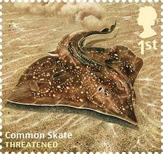 A common skate, Dipturus batis, is nearly extinct from the Mediterranean and is occassionally found in the Irish Sea, Bristol Channel and central North Sea. Its range is now effectively limited to northwest Scotland and the Celtic Sea. Photograph: Royal Mail/PA