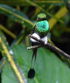 Booted Racket-tail (Ocreatus underwoodii) Uploaded by Calif_Sue, taken by her brother, David, in Ecuador