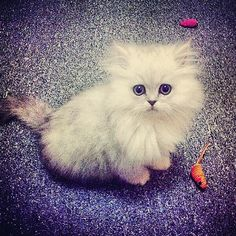 #Cats #Cat #Kittens #Kitten #Kitty #Pets #Pet #Meow #Moe #CuteCats #CuteCat #CuteKittens #CuteKitten #MeowMoe Such a furry kitty! ... https://www.meowmoe.com/31548/