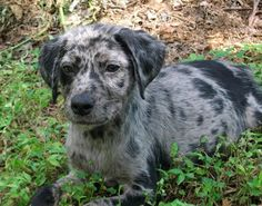 Catahoula Leopard Dog puppy! :)