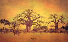 Baobabs of Tarangire - Mutua Matheka