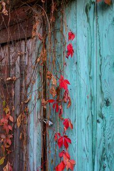 Red Vine on Blue Door 5x7