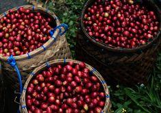 Baskets of coffee cherries in Bali