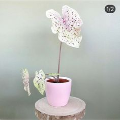 Caladium Miss Muffet 💗💕 Photo: __ Potted Plants, Garden Plants, Indoor Plants, House Plants Decor, Plant Decor, Indoor Gardening Supplies, Cactus Planta, Belle Plante, Pink Plant