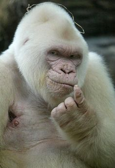 """""""Snowflake"""" (Floquet de neu, Copito de niece), the albino gorilla. He is the only known white gorilla so far and was the most popular resident of the Barcelona Zoo in Spain (arrived to Barcelona in 1964 from Equatorial Guinean. Primates, Mammals, Beautiful Creatures, Animals Beautiful, Albino Gorilla, Animals And Pets, Funny Animals, Rare Albino Animals, Exotic Pets"""