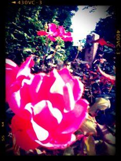De rozen in onze tuin met effect!.