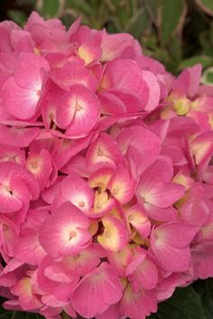 Let's Dance Moonlight Hydrangea by Proven Winners