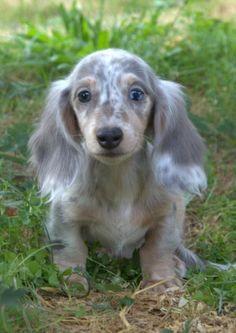 longhair blue/tan dapple dachshund puppie! What a handsome little guy!