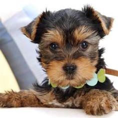 """Obtain fantastic ideas on """"yorkshire terriers"""". They are actually available for you on our website. Labrador Puppies For Sale, Baby Puppies, Cute Puppies, Cute Dogs, Dogs And Puppies, Yorkshire Terrier Dog, Yorkies, Baby Animals, Cute Animals"""