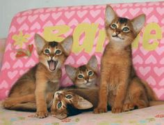 Abyssinian - cat breed