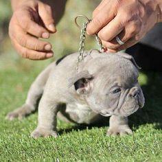 """Honey, I shrank the Bulldog!"""