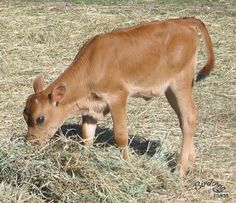 Birdsong Blossom's Daisy was the very first heifer calf born on Birdsong Farm. Isn't she cute?